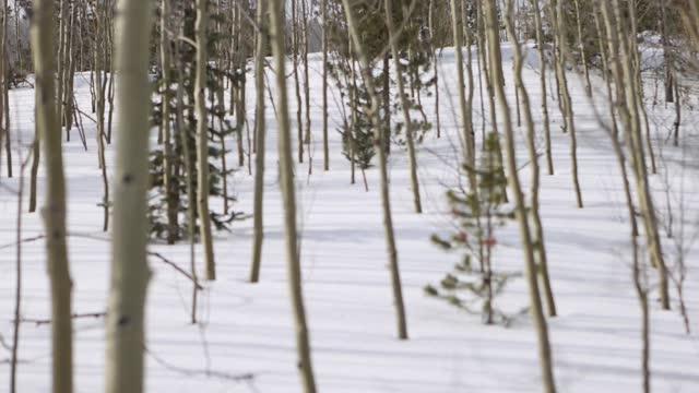 vídeos de stock, filmes e b-roll de aspens em floresta nevada no colorado - aspen colorado