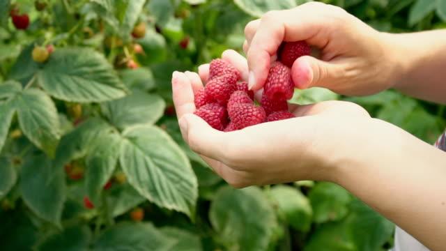 vídeos de stock e filmes b-roll de assembly raspberries closeup - picking fruit