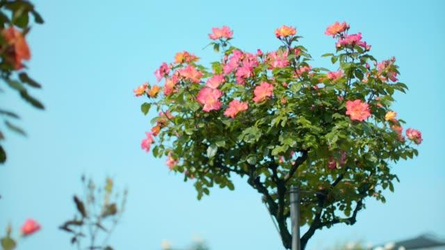 フラワー スタンドに表示する各種のピンクのバラ - 花市場点の映像素材/bロール