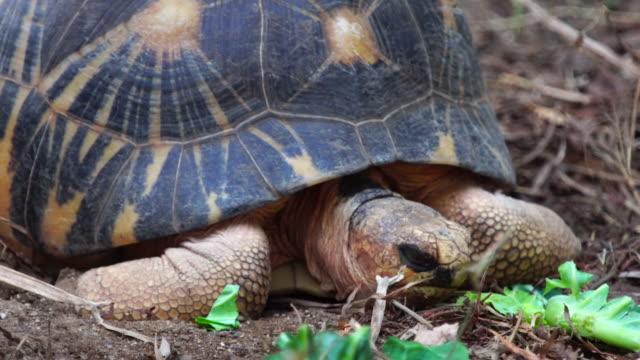 Astrochelys radiata Astrochelys radiata portrait.  giant tortoise stock videos & royalty-free footage