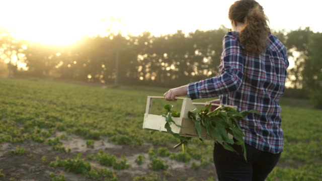 at sunset the farmer walks the field carrying a box with green plants. - sustainability video stock e b–roll