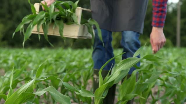Al atardecer el agricultor camina el campo cargando una caja con plantas verdes - vídeo