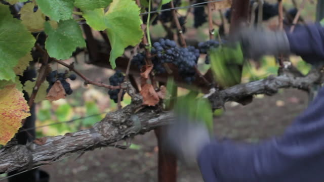 At The Vineyard - Grapes on the Vine