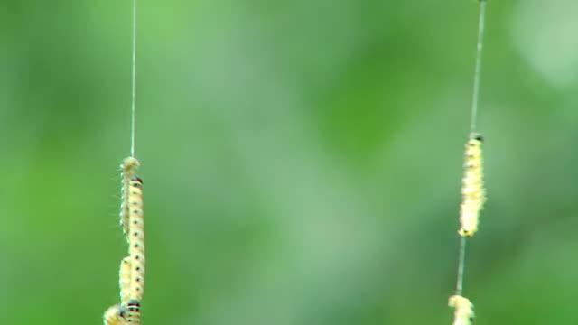 Сaterpillars on the web