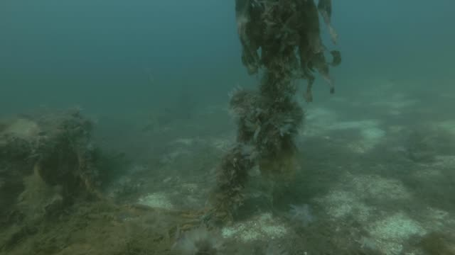 Atlantic cod (Gadus morhua) swim over seabed overgrown with laminaria and other brown algae Atlantic cod (Gadus morhua) swim over seabed overgrown with laminaria and other brown algae kelp stock videos & royalty-free footage