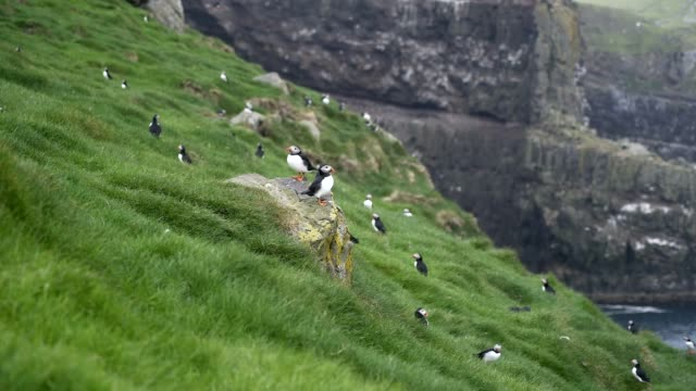 Atlantic Puffin (Fratercula arctica) in Mykines island, Faroe Islands.