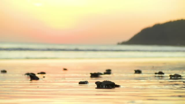 Atlantic Ridley sea baby turtles crossing the beach at sunrise