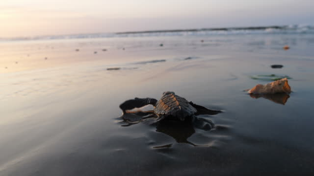 Atlantic Ridley sea baby turtles crossing the beach at sunrise