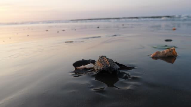 vidéos et rushes de tortues marines de l'atlantique ridley traversant la plage au lever du soleil - tortue