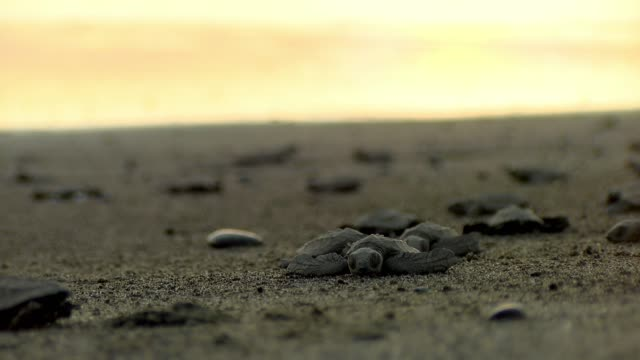 Atlantic Ridley sea baby turtles crossing the beach at sunset