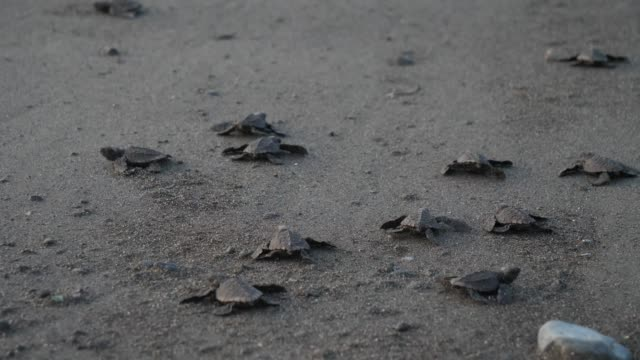 Atlantic Ridley sea baby turtles crossing the beach Newborn tiny turtles heading to the sea waters for the first time. Turtle hatchlings on the sands of the beach. Wild turtles in the nature reserve in Central America. turtle stock videos & royalty-free footage