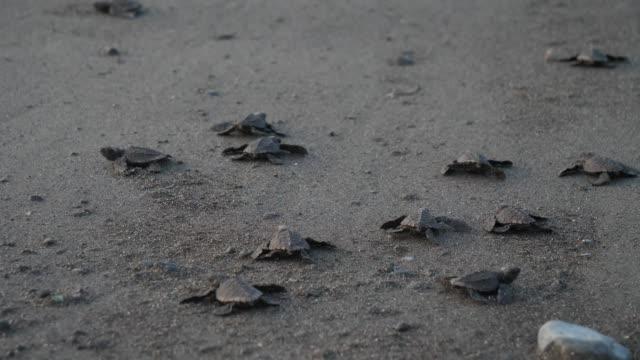 vidéos et rushes de tortues marines de l'atlantique ridley traversant la plage - tortue