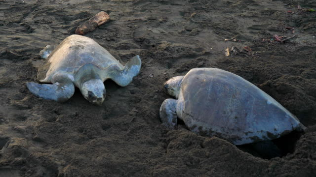 atlantische ridley meeresschildkröten laichen an einem tropischen strand - nest stock-videos und b-roll-filmmaterial