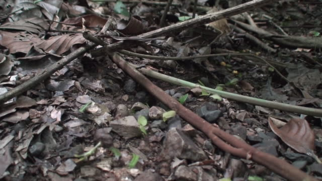 Atta ants in the Rain forest ground video