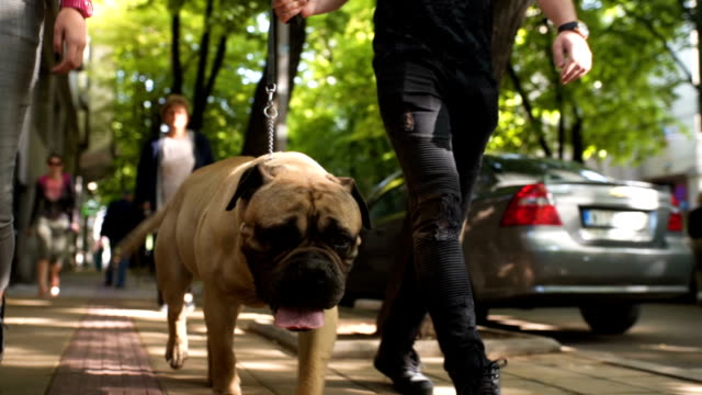 Attractive couple walking their dog There is one young couple age 25. They walking their dog leash stock videos & royalty-free footage