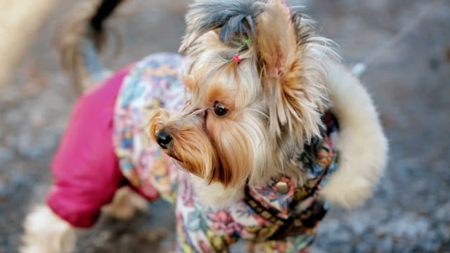 Attractive Yorkshire Terrier Poses video