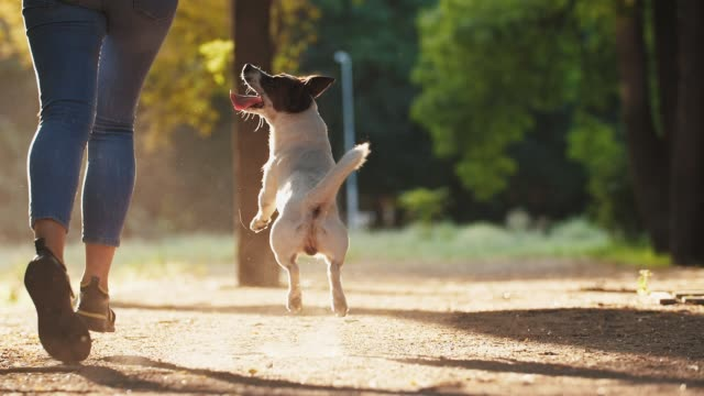 Attractive young woman running and playing with jack russel terrier in park during beautiful sunset, super slow motion, low angle view Young woman playing with jack russel terrier in park during beautiful sunset, super slow motion jack russell terrier stock videos & royalty-free footage