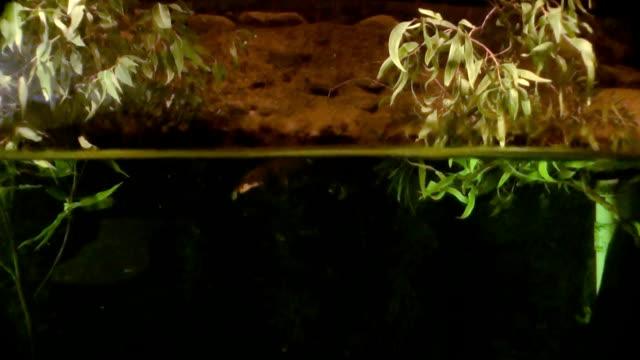 Australia - Platypus video