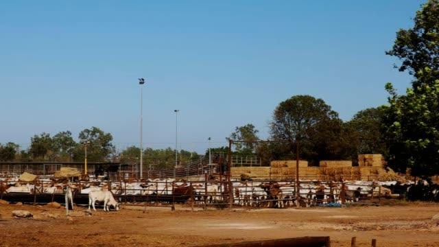 australian beef cattle for export