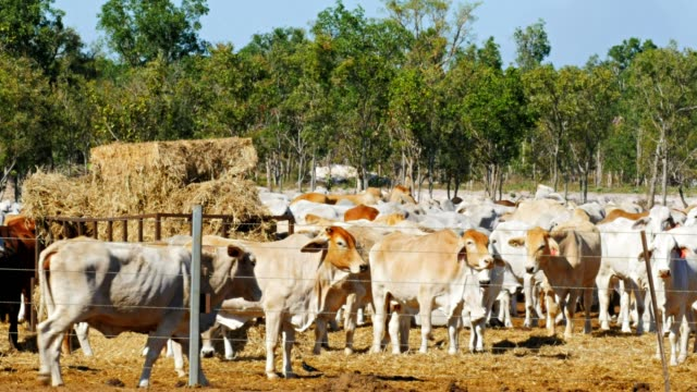 australian beef cattleyard