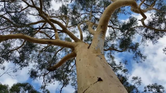 australian eucalypt gum tree plant - eucalyptus leaves bildbanksvideor och videomaterial från bakom kulisserna