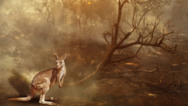 Australian Kangaroo wildlife in the fire cinemagraph Cinemagraph loop: Australian wildlife in bushfires of Australia in 2020. Kangaroo with fire on background. January 2020 fire affecting Australia is considered the most devastating and deadly ever seen australia stock videos & royalty-free footage