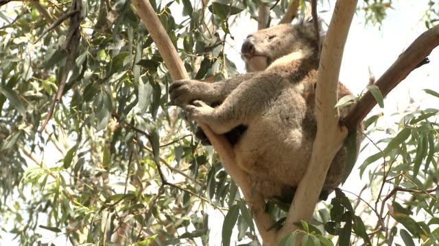 australian koalabär - faul ast stock-videos und b-roll-filmmaterial