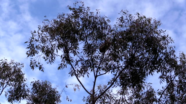 Australian Koala Phascolarctos cinereus in Eucalyptus Gum Tree Sleeping video