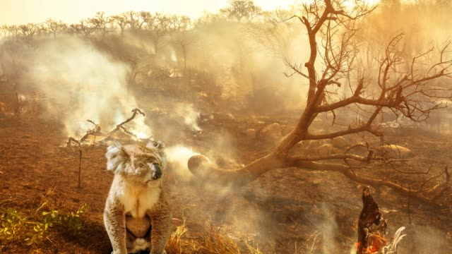 australian koala wildlife in the fire cinemagraph - albero tropicale video stock e b–roll
