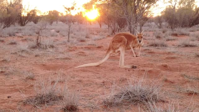 Australian Marsupial kangaroo SLOW MOTION: side view of red kangaroo at sunset. Macropus rufus, on the red sand of outback central Australia. Australian Marsupial in Northern Territory in Red Center. bush stock videos & royalty-free footage