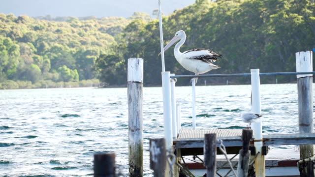 Australian pelican Pelecanus conspicillatus in Narooma, New South Wales, Australia