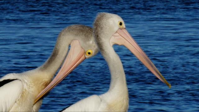 australian pelican video