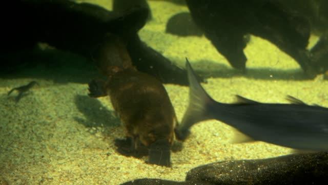 australiensiska näbbdjuret utfodring - platypus bildbanksvideor och videomaterial från bakom kulisserna