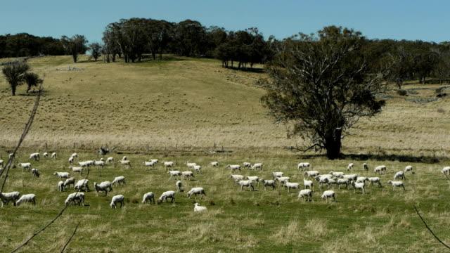 australian sheep farm a flock of sheep graze on a farm in australia paddock stock videos & royalty-free footage