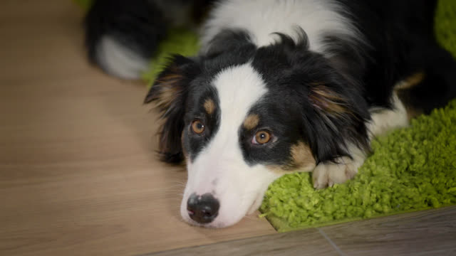 Australian Shepherd Dog at home Australian Shepherd Dog is Lying on the floor. Black Tri color Aussie purebred Puppy 11 months old, at home. panting stock videos & royalty-free footage