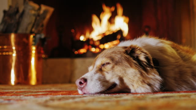 Australian Shepherd doze near the fireplace, her visible copper bucket of firewood Dog lying in a cozy house near the fireplace fireplace stock videos & royalty-free footage