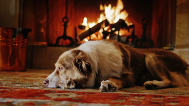 Australian Shepherd lying in a cozy house near the fireplace Dog lying in a cozy house near the fireplace fireplace stock videos & royalty-free footage