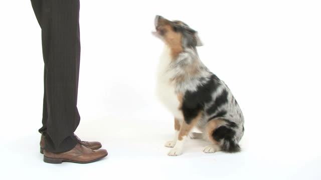 Australian Shepherd obeying to his master video
