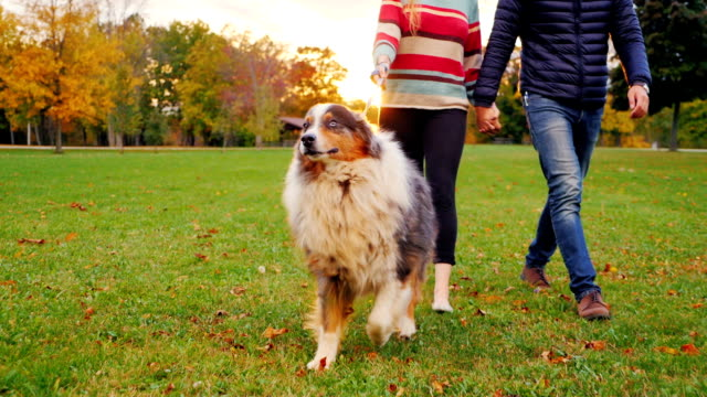 Australian Shepherd on a walk with the hosts. At sunset in the autumn park video