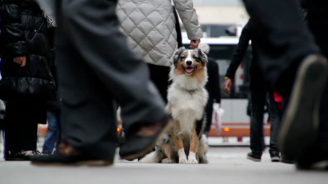 Australian shepherd sitting in a crowded street Australian shepherd sitting in a crowded street lost stock videos & royalty-free footage