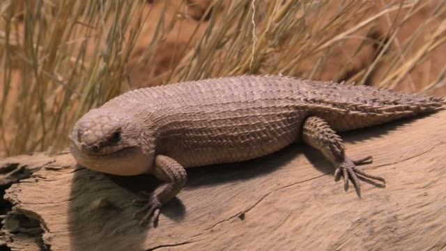 Australian Thorn-tailed Skink Thorn-tailed spiny Skink, Egernia stokesii, in Desert Park at Alice Springs, Northern Territory, Central Australia. Australian skinks also known as a lizard, and are endemic to Australia. skink stock videos & royalty-free footage