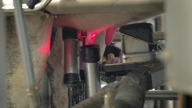 modern bir sağım makinesinin otomatik süreci. i̇neğin meme sütü için bir lazer ile taranır. i̇nek evinde bir sürü var. tarımsal sanayi - meme hayvan vücudu bölümleri stok videoları ve detay görüntü çekimi