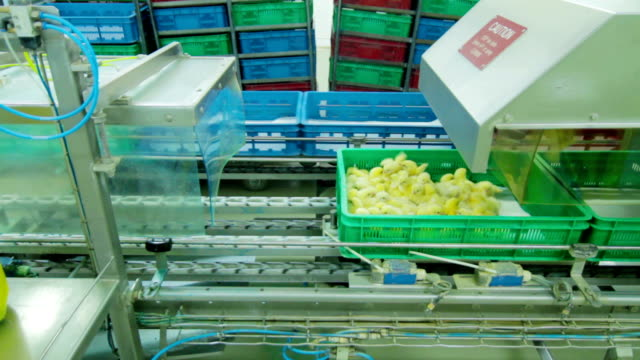 Automatic Chicks disinfection in Factory video