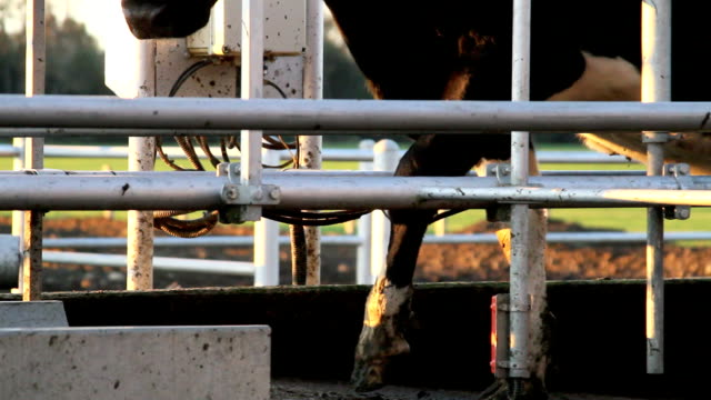 Automatic cow control video