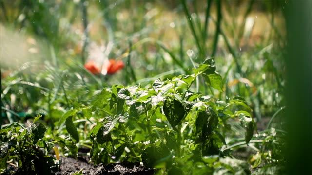 Automatiskt sprinklersystem bevattnar växter av potatis och vattendroppar i solljus i slow motion video