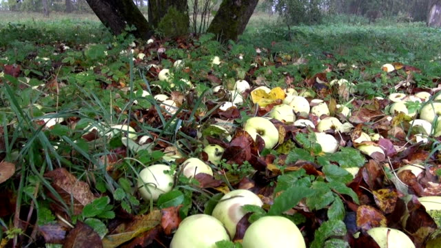 autumn apples in old farm garden - moss stock videos & royalty-free footage