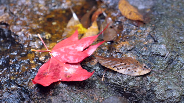 Autumn background. Red maple foliages on pond near small waterfall