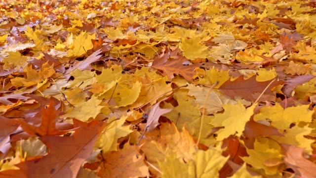 vídeos de stock, filmes e b-roll de fundo do outono. a terra é coberta com a folha amarela e marrom do bordo, criando um tapete natural. tiro à terra do steadicam do close-up, uhd - setembro amarelo