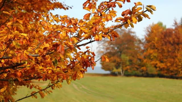 Autumn Beech Branch. Rack Focus. video