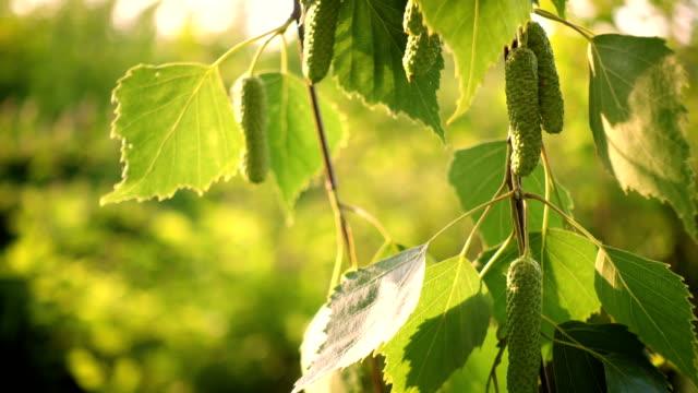 vídeos de stock, filmes e b-roll de folhas de bétula outono um vento close-up - bétula